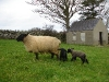 Newborn lambs in the field